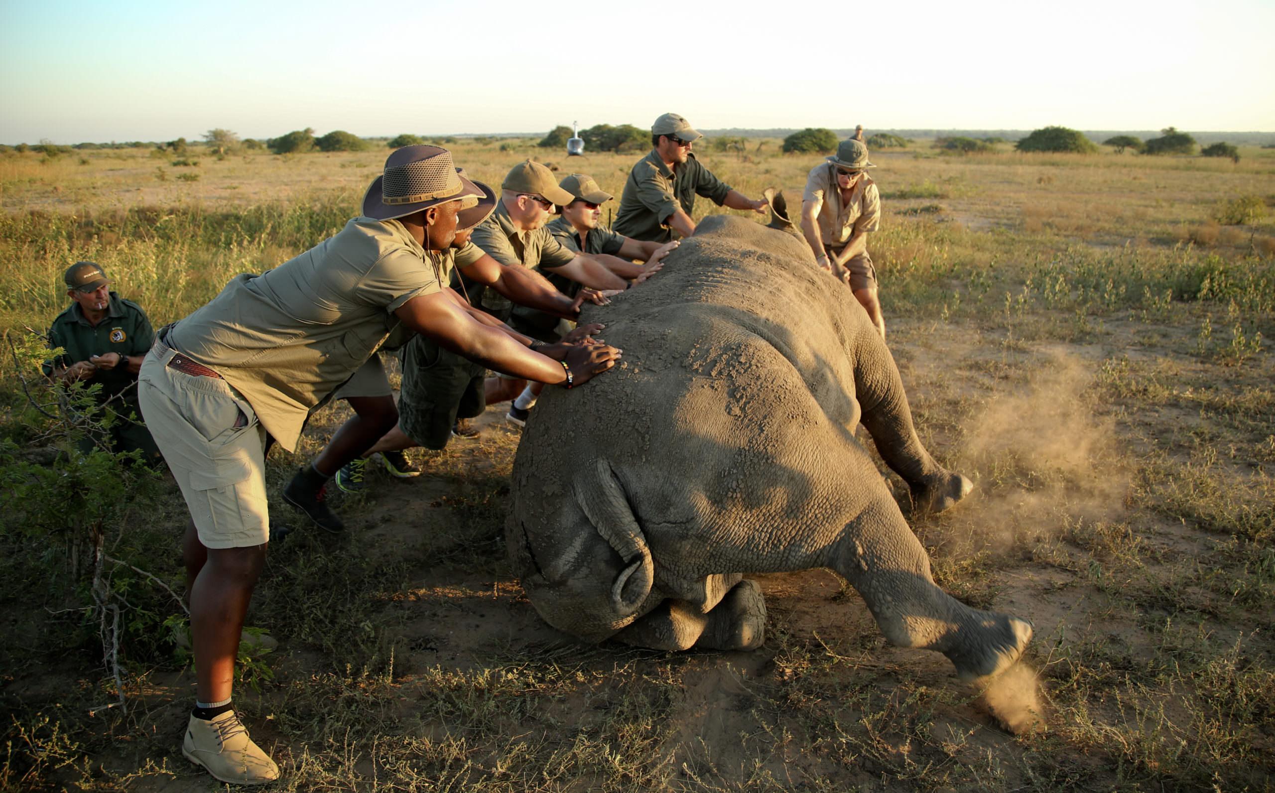 Rhino Microchipping