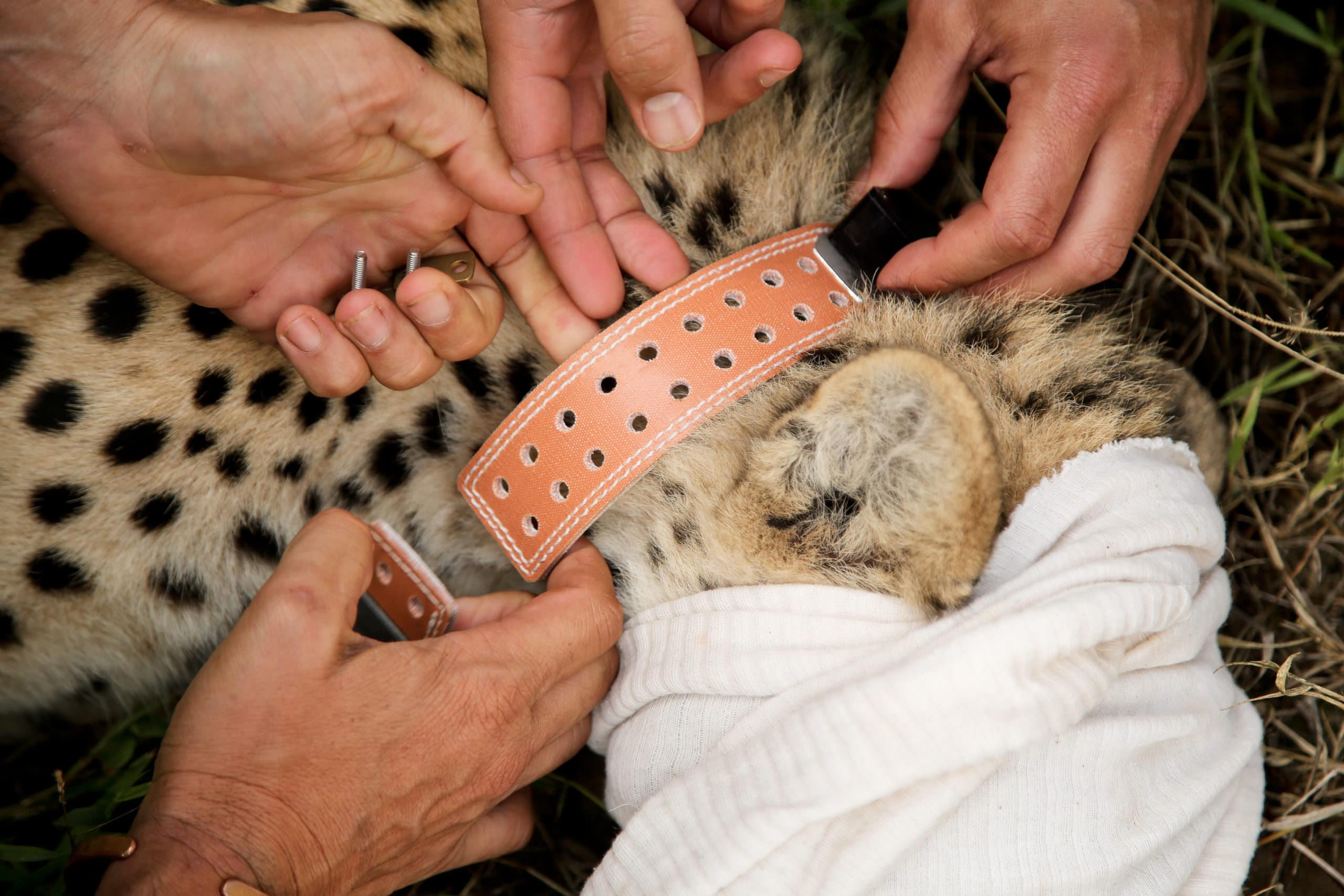 Satellite Collar a Big Cat