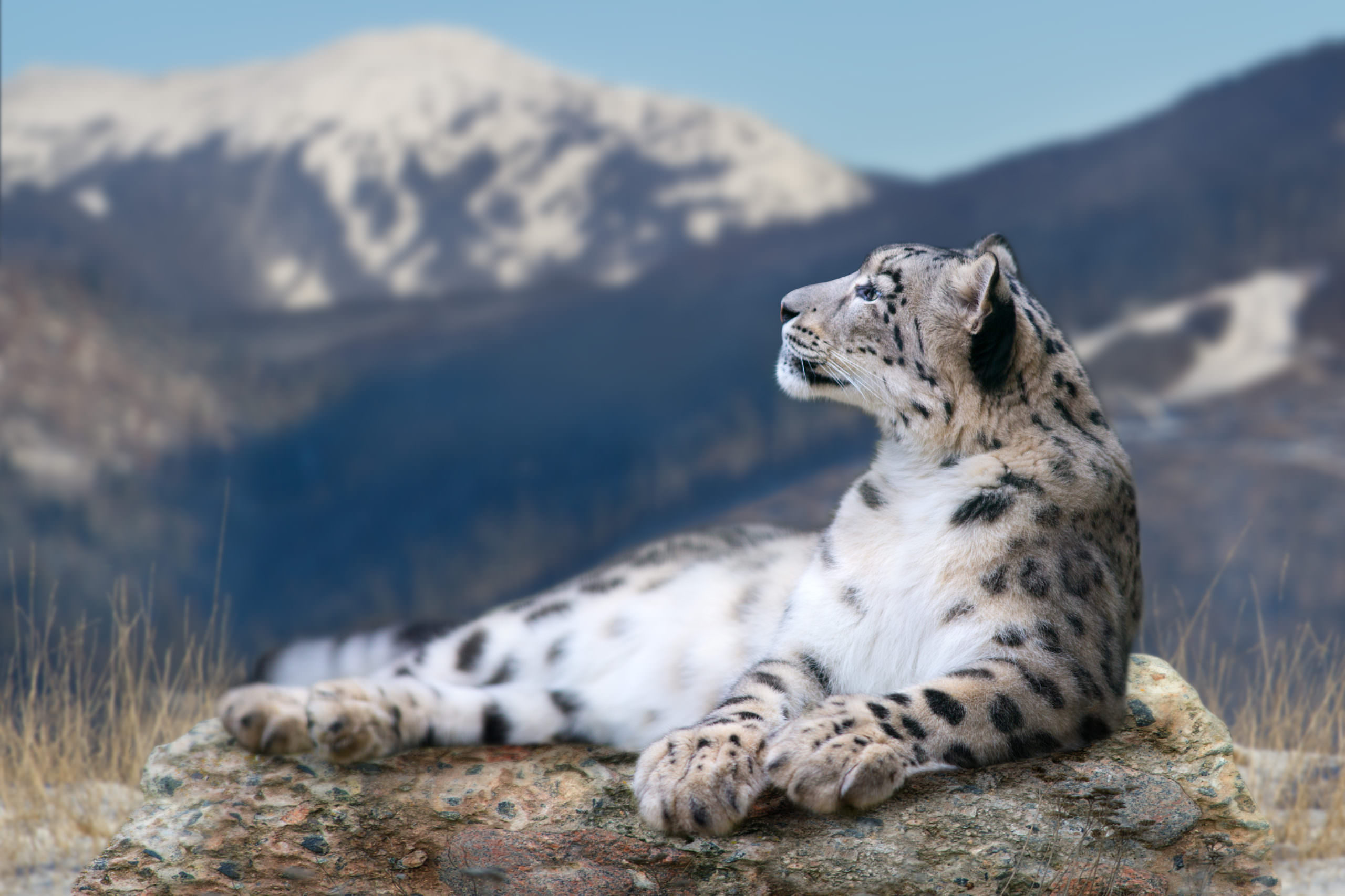 Tracking Snow Leopards in the Himalayas