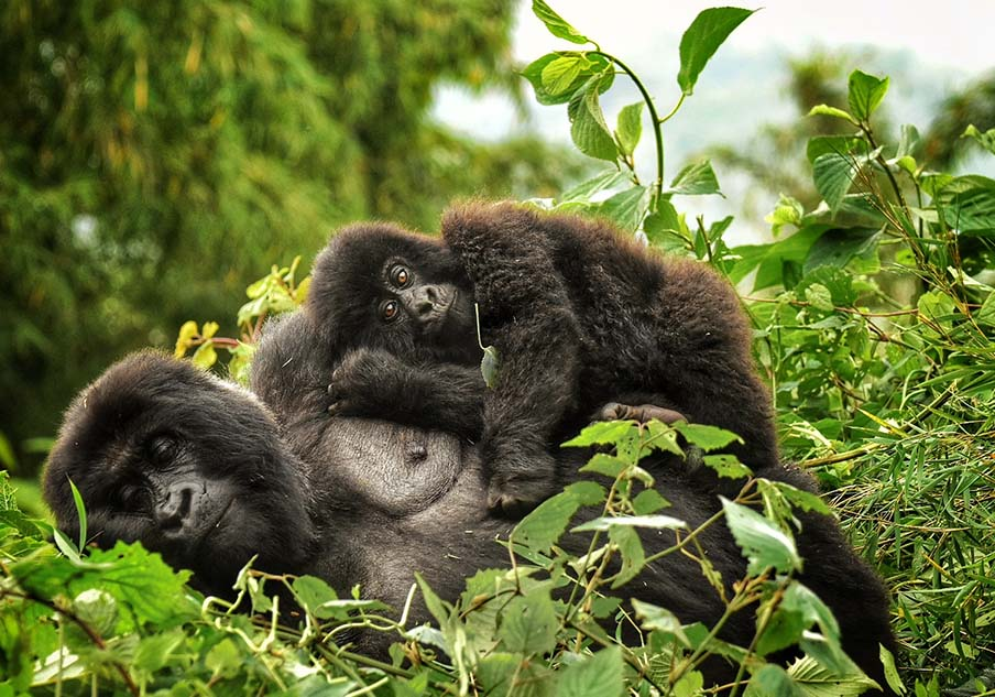 Tracking Wild Mountain Gorillas