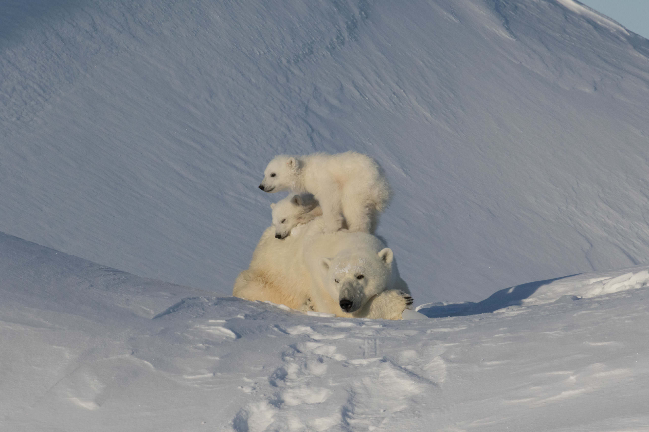 Polar bears, Narwhals, and Northern Lights