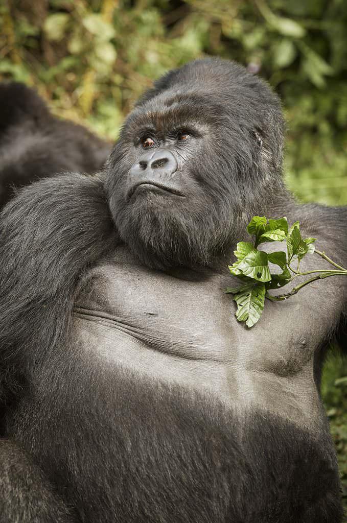 OO_GorillasNest_Flora_Fauna_Gorilla_Trek_21560_MASTER_small-679x1024-1