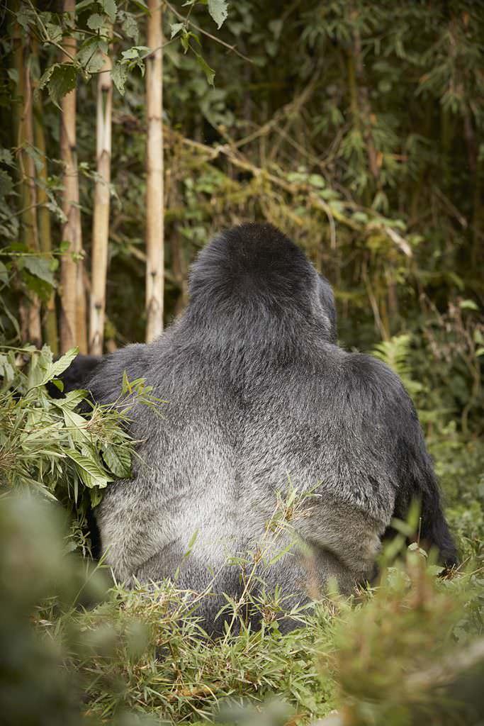 OO_GorillasNest_Flora_Fauna_Gorilla_Trek_22462_MASTER_small-683x1024-1