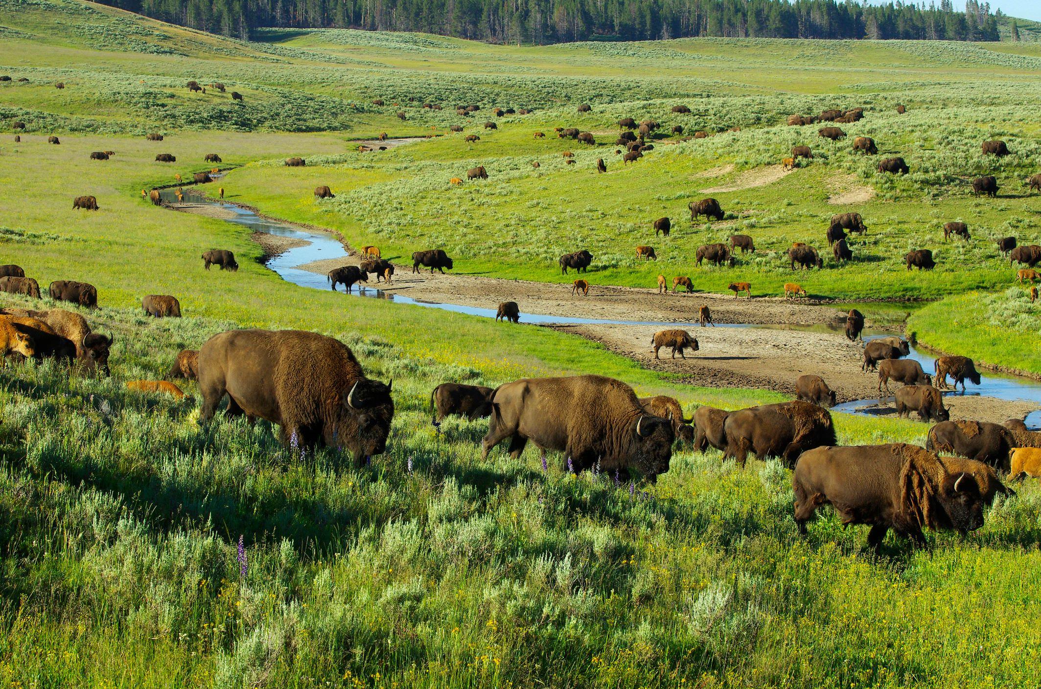 Trek into the Lamar valley mn_ZZXx0 Yellowstone Excursionist copy
