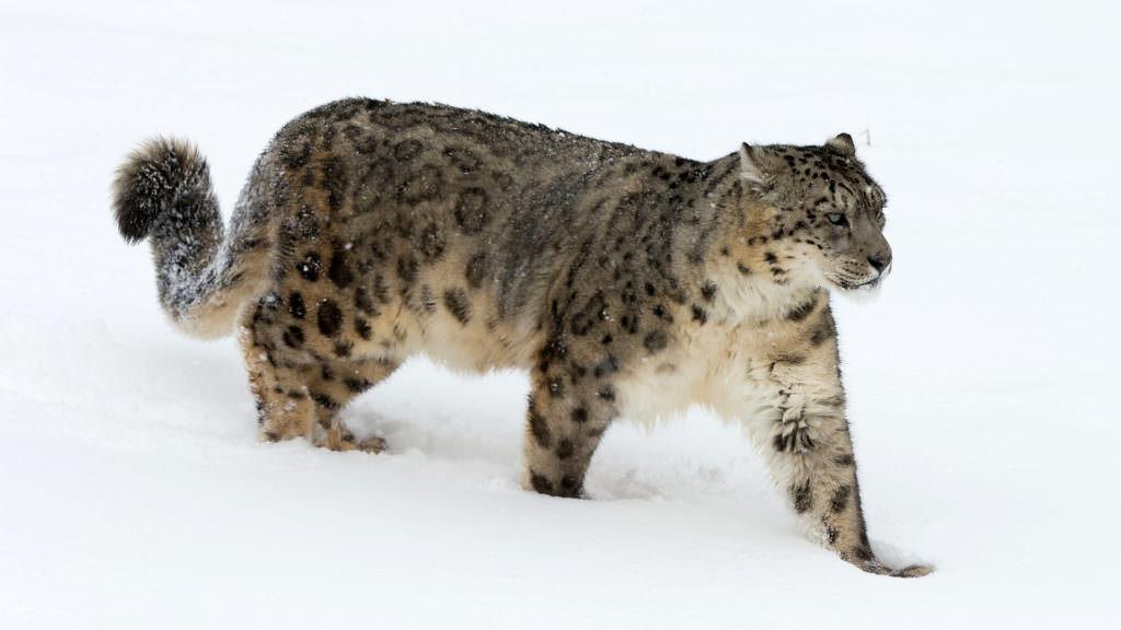 andbeyond-snow-leopard-ladakh-leh-india-himilayas-1024x576-1