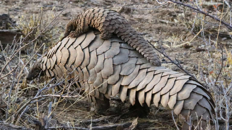 pangolins-in-the-wild-baby-768x432-1
