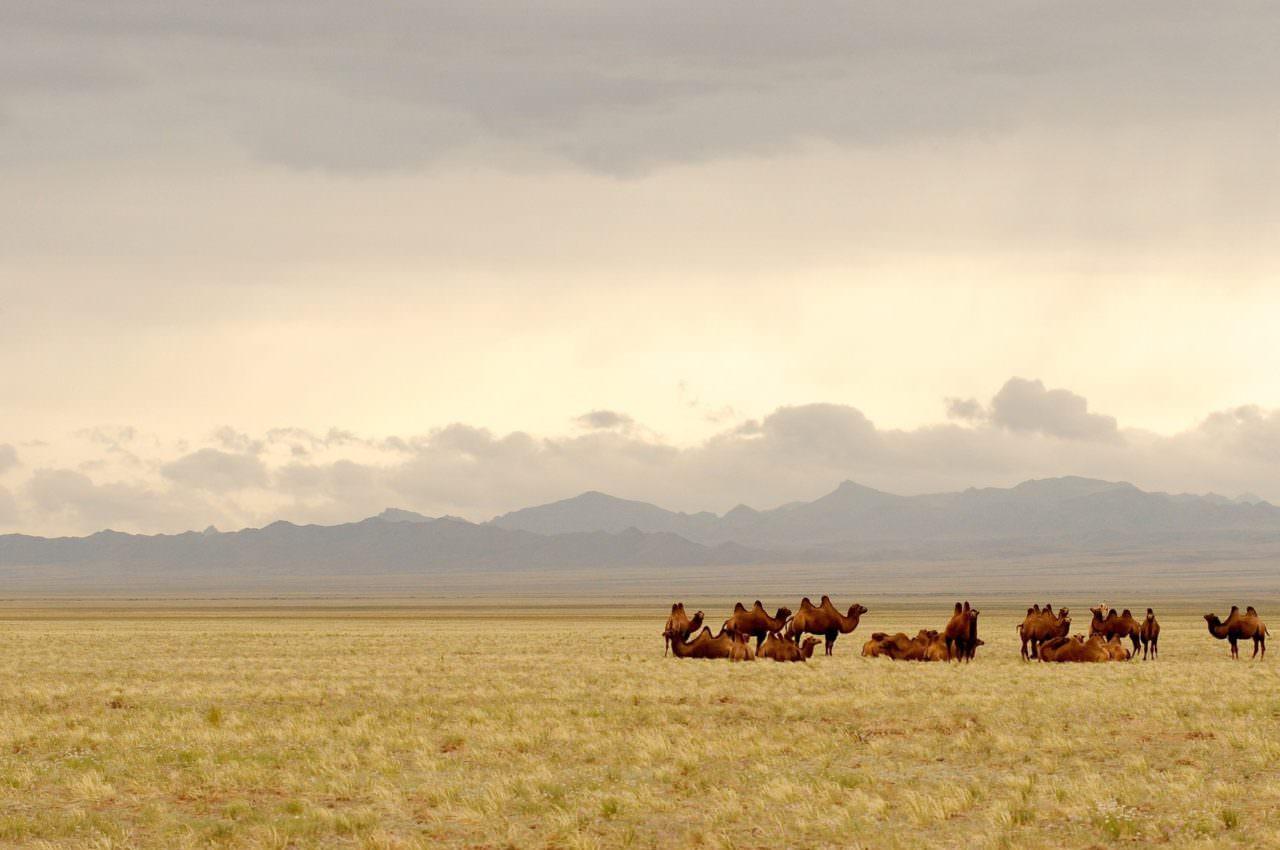 Gobi Desert by camel & yurts