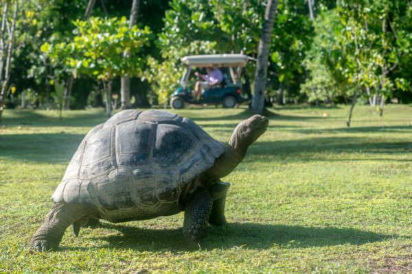 Giant Aldabra Tortoises